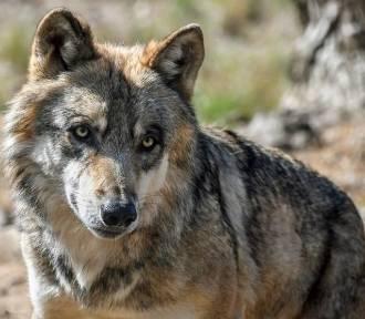 Tego nie rób, gdy spotkasz wilka!