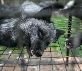 Ok. 130 martwych lisów na fermie pod Krotoszynem [DRASTYCZNE ZDJĘCIA + FILM]