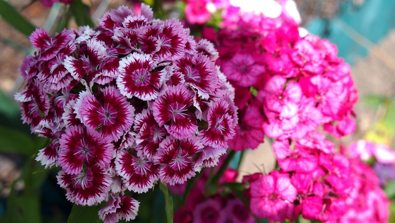 Goździki brodate są ozdobą kwiatowych rabat i skalniaków