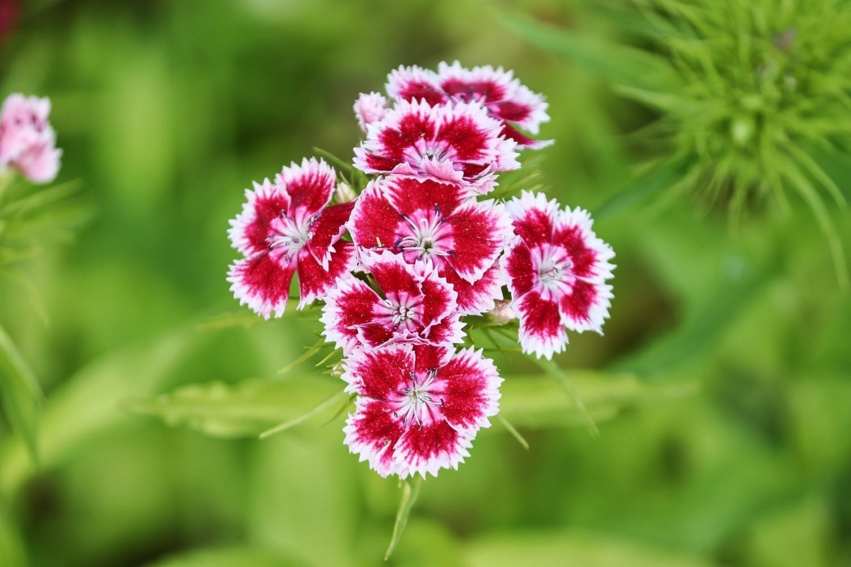 Te goździki mają kwiaty w różnych kolorach, są także odmiany o kwiatach wielobarwnych