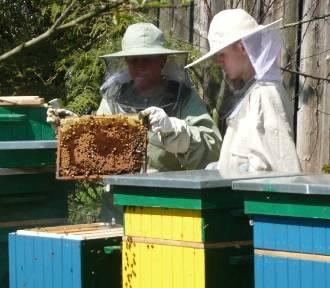 MILICZ: Zaraza wśród pszczół została opanowana!