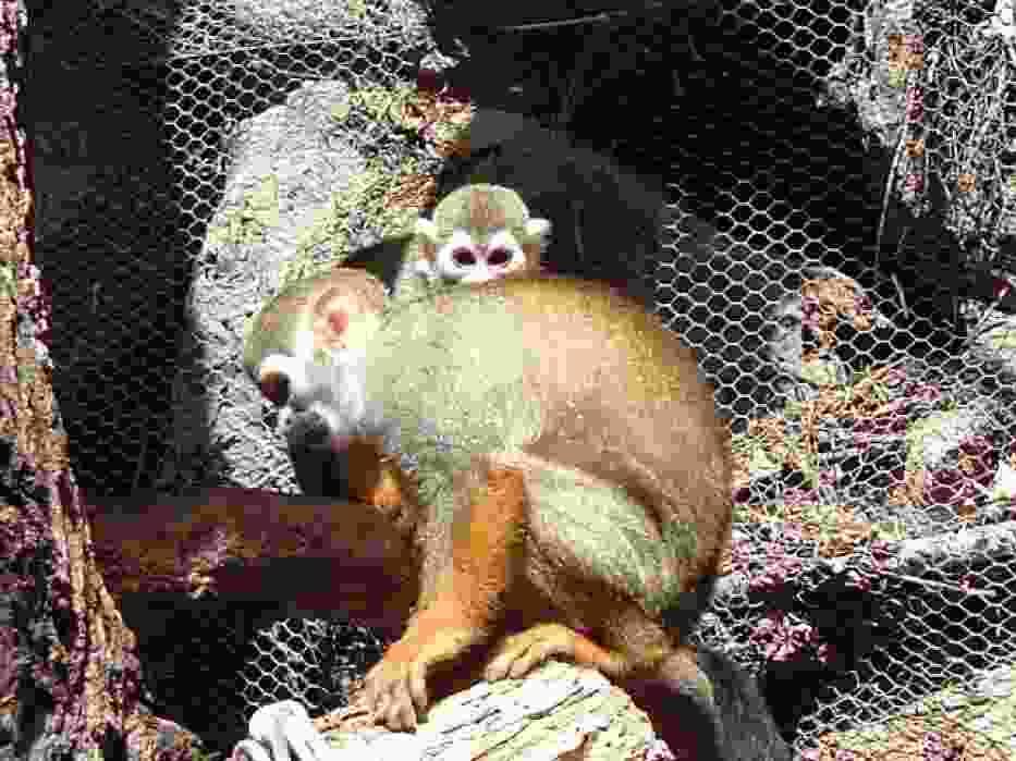 Małpki (Sajmiri wiewiórcza), zwana trupią główką