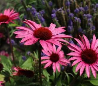 Takie kwiaty nie boją się zimy. Oto gatunki kwiatów, które są odporne na mróz