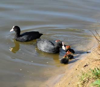 PTAKI. Łyska zwyczajna - ptak wodny z rodziny chruścieli
