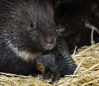 We wrocławskim zoo urodziły się jeżozwierze. Są śliczne! [ZDJĘCIA]