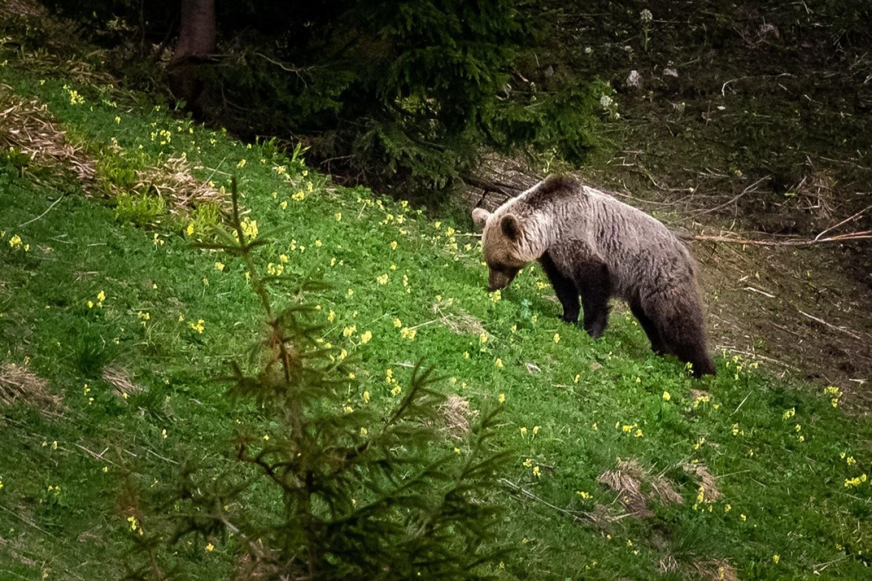 Niedźwiedź w Dolinie Jaworzynki w Tatrach