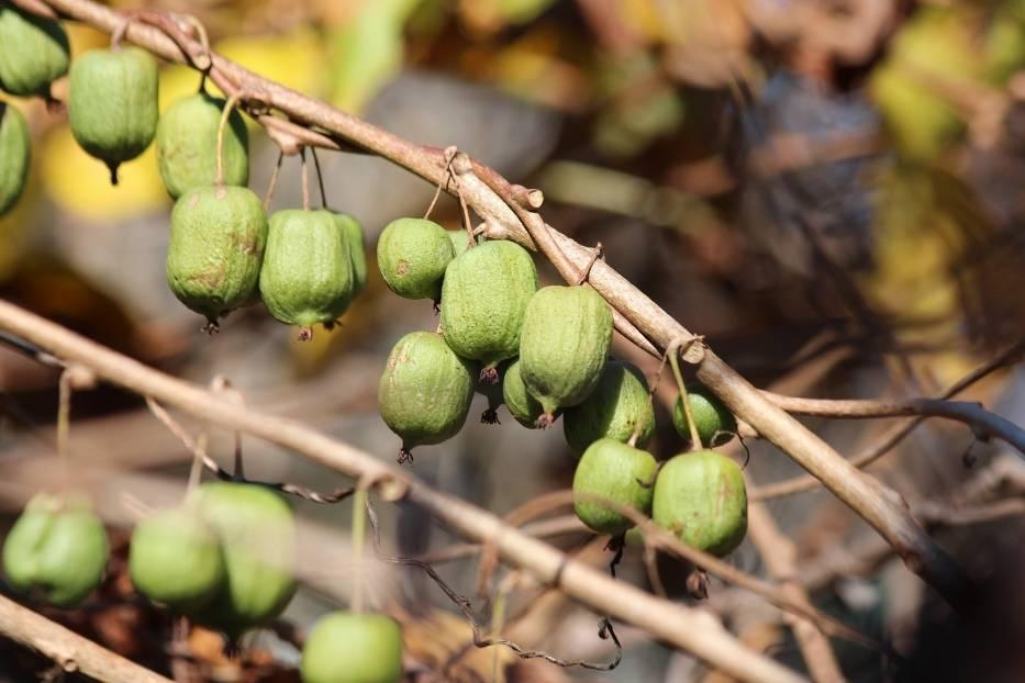Aktinidia, czyli mini kiwi