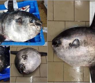 Mola mola w naszych wodach. Co tu robią egzotyczne ryby?