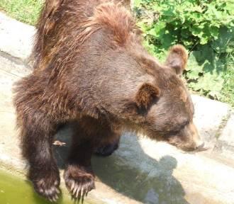 Niedźwiedzica z młodym pojawiła się w okolicy Leskowca!