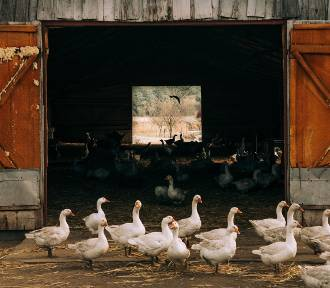 Rosja: pierwszy przypadek na świecie zakażenia człowieka nowym wirusem ptasiej grypy