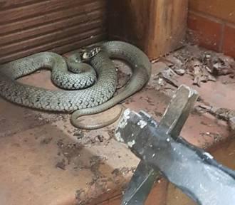 Pod swoim tarasem znalazł 1,5 metrowego węża. Z pomocą przybyła straż