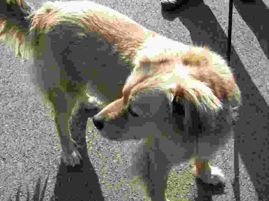 Pies rasy golden retriever