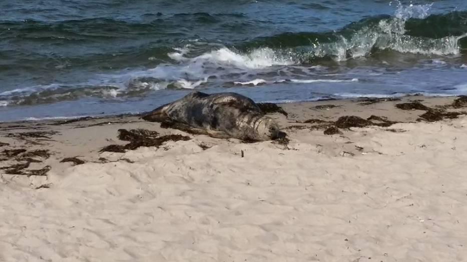 Foczy odpoczynek nad Zatoką Pucką