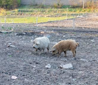 Skrzyżowanie świni i owcy? Nietypowe zwierzęta blisko Krempnej [FOTO]