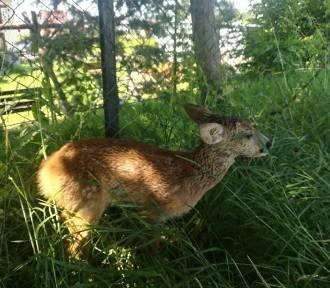 Wycieńczona sarna potrzebowała pomocy - odwieziona do ośrodka dla dzikich zwierząt