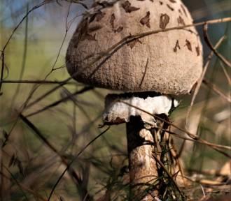 UWAGA! Ostatnie 7 miejsc czeka na grzybiarzy na Manewrach grzybowych w Pleceminie.