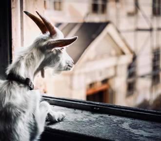 Kto odciął głowę koziołkowi? Obrońcy zwierząt chcą przeprowadzić się pod Wałbrzych i Świdnicę