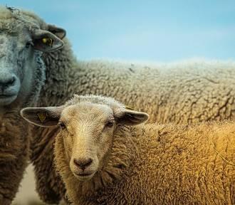 Na Zakrzówku będą... wypasane owce? Powstał niezwykły projekt