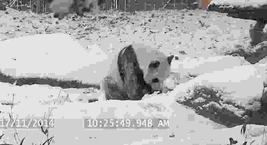 Słodka panda robi fikołki w śniegu [wideo]