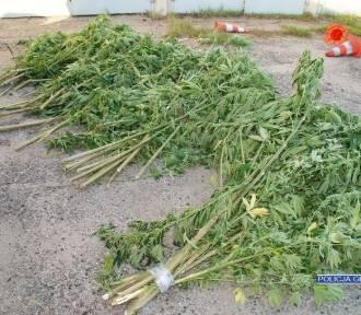 Policja zlikwidowała plantację marihuany. Setki krzewów w lesie