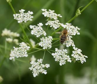 Pomoc dla pszczelarzy. Wnioski do programu ARiMR można składać do końca czerwca
