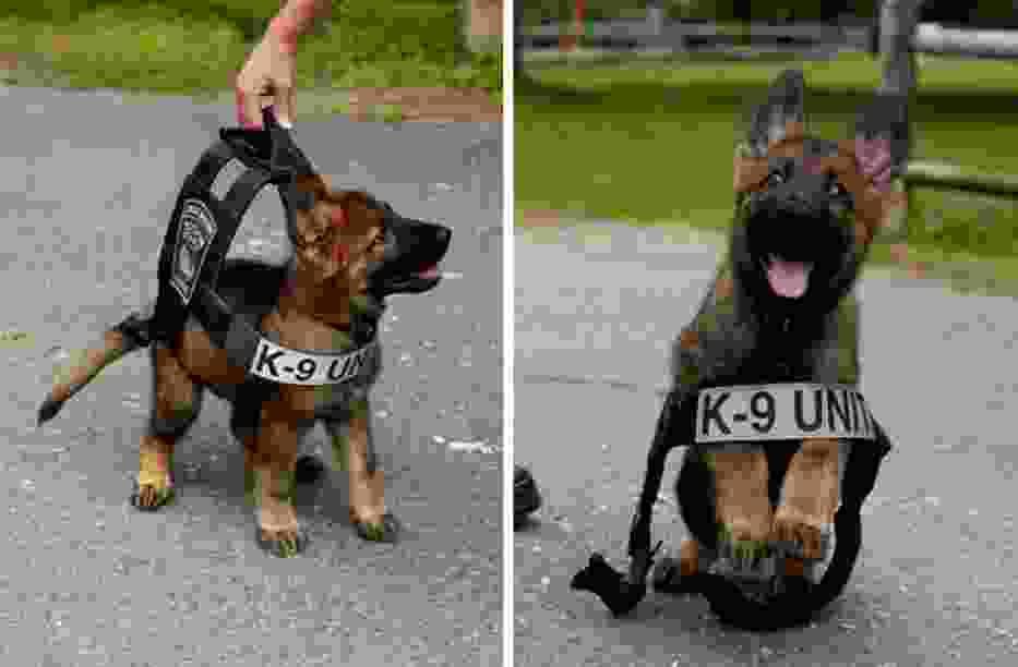 Psy policyjne też kiedyś były po raz pierwszy w pracy. Te zdjęcia roztopią Wam serca!