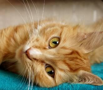 Kiclik, Garusek, Smykała... - szukasz śląskiego imienia dla kota? Sprawdź te propozyc