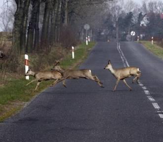 Dzikie zwierzęta na drogach! Leśnicy apelują o ostrożność