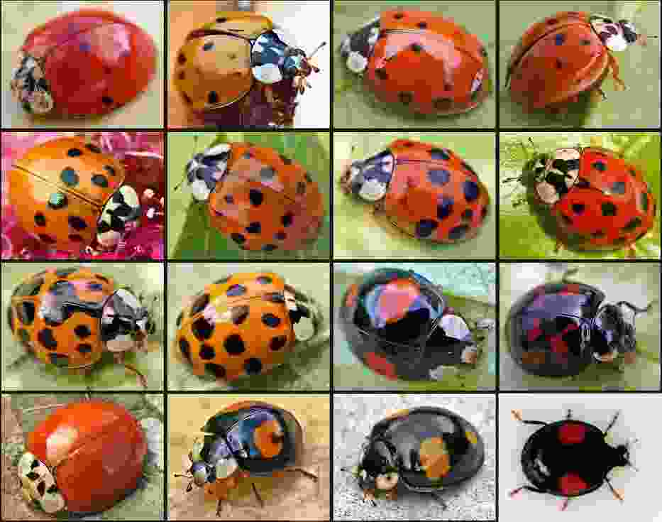 {{Information |Description=Harmonia axyridis |Source={{own}} |Date= |Author=Hedwig Storch |Permission= |other_versions= }})