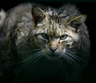 Dzikie koty, które mieszkają obok Ciebie!
