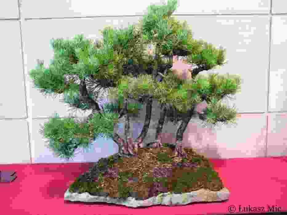 """Bonsai, ta nazwa pochodzi od japońskich słów: """"Bon""""-oznaczającego miskę oraz """"Sai"""", czyli drzewo"""