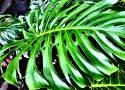Czy rozpoznasz roślinę doniczkową po jej liściach i kwiatach? QUIZ