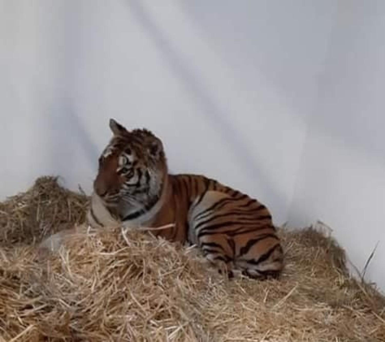Uratowane tygrysy mają mnóstwo ran, pozrywane pazury, są na skraju wycieńczenia