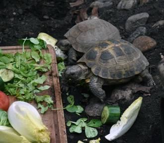 Żółwie stepowe w Legnickiej Palmiarni mają nowy wybieg [ZDJĘCIA]