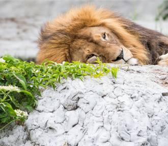 Zoo w Warszawie świętuje Dzień Lwa. W programie m.in. konkurs na najlepsze lwie przebranie