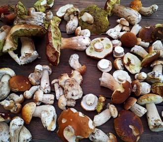 Bory Kujańskie - pełne grzybów