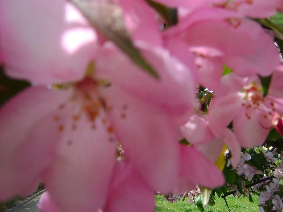 Kwiat jabłoni w zbliżeniu/