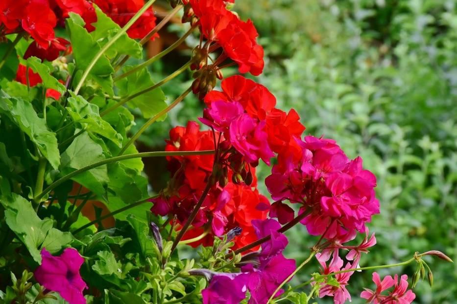 Nie wszystkie rośliny poradzą sobie na słonecznym balkonie równie dobrze, dlatego już na początku sezonu warto się zastanowić, jakie gatunki najlepiej wybrać, aby cieszyć się pięknymi roślinami balkonowymi przez całe lato, a nawet jesień