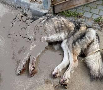 SZOK! 44-letnia kobieta zagłodziła psa na śmierć. Chciała zemścić się na mężu [FILM, DRASTYCZNE