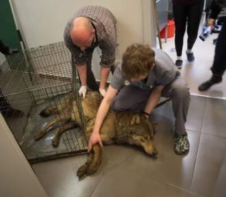 Istnieje szansa, że wilk ranny w wypadku wróci do sprawności [ZDJĘCIA]