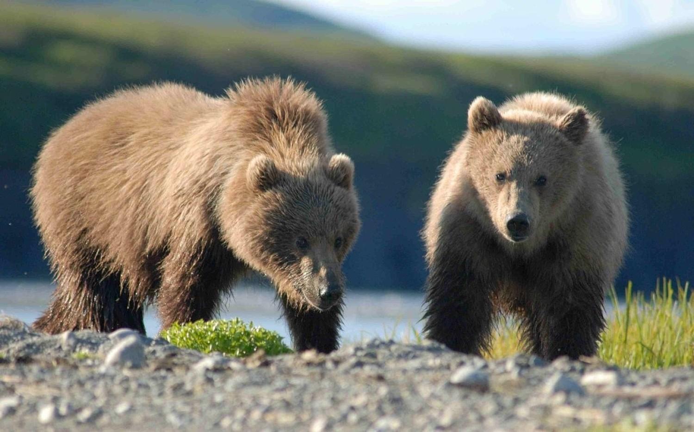 Jesień widać także po zachowaniu niedźwiedzi