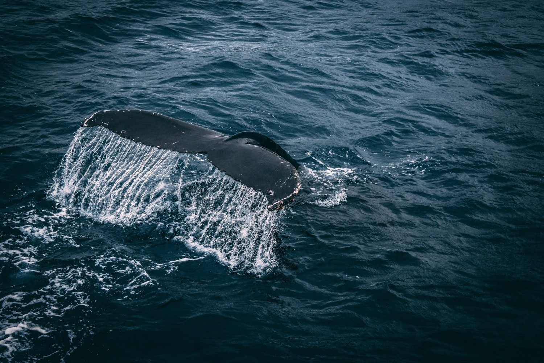 #9 Zakazane pamiątki z wakacji - wyroby z kości wielorybów
