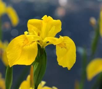 Polecamy kwiaty na podmokłą i wilgotną ziemię