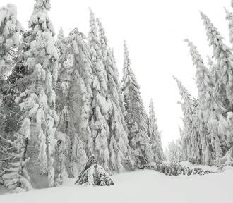 Pod ciężarem śniegu łamią się drzewa w Karkonoskim Parku Narodowym [ZDJĘCIA]