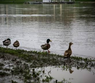 Poziom wody spada. Po zabłoconych bulwarach spacerują kaczki i łabędzie