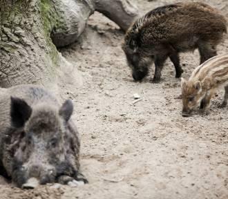 W najbliższy weekend zginą dziki na Dolnym Śląsku. Taki sposób na walkę z ASF