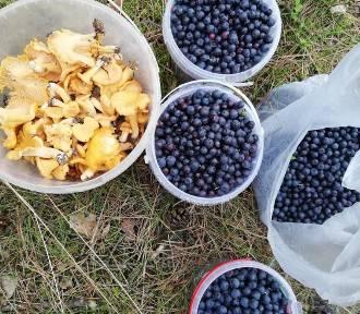Pierwsze letnie grzyby. W lasach koło Szczecinka sypnęło kurkami. Jagody też są