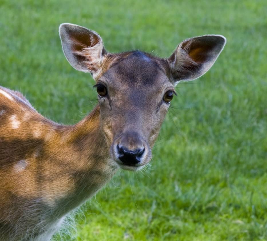 Łania zaatakowała myśliwego w Wisconsin