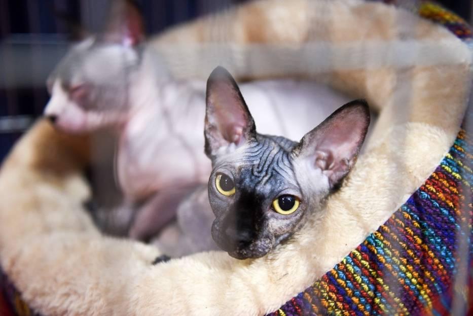 W sobotę i w niedzielę w Auli UMK odbywała się Międzynarodowa Wystawa Kotów Rasowych
