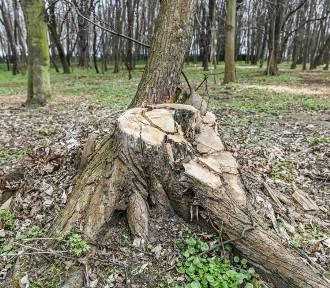 Kto i dlaczego wyciął 250 drzew na Westerplatte? - pytają radni Wszystko dla Gdańska